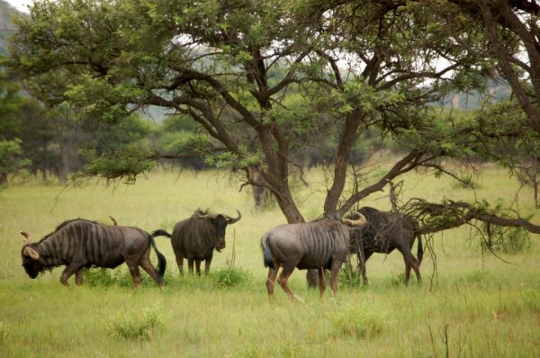 Wildebeest in Polokwane Game Reserve, South Africa.