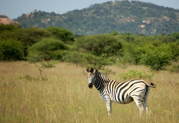 A zebra in Polokwane Game Reserve, South Africa.