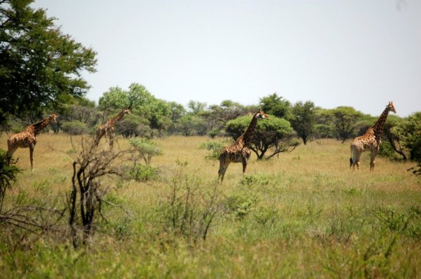 Giraffe in Polokwane Game Reserve, South Africa.
