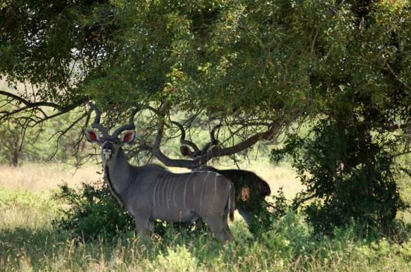Male kudu under a marula tree in Polokwane Game Reserve, South Africa.